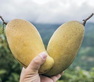 alphonso-mango